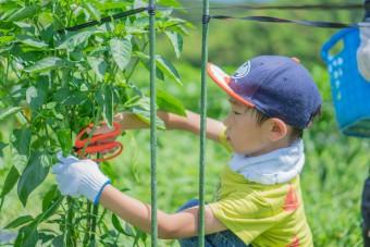 収穫する子ども